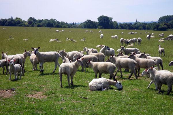 Sheep and lambs at the Old Farm
