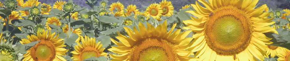sunflowers_tuscany1