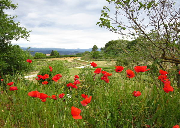 Poppies on the walk to Lacoste