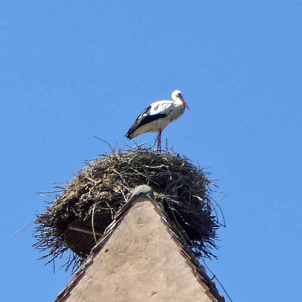 One of Alsace's beloved white storks
