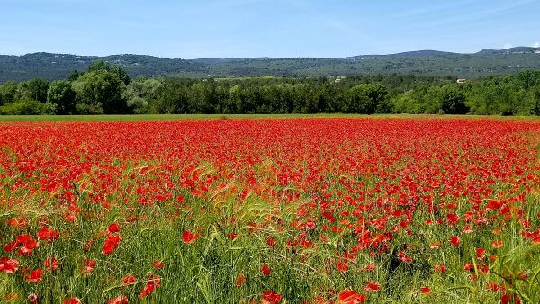 Poppies in the Luberon - The Luberon Experience week in Provence