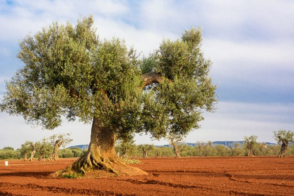 Ancient olive trees - Puglia Experience
